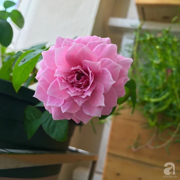 Ban công trồng đủ loại hoa hồng chỉ vỏn vẹn 6m2 2