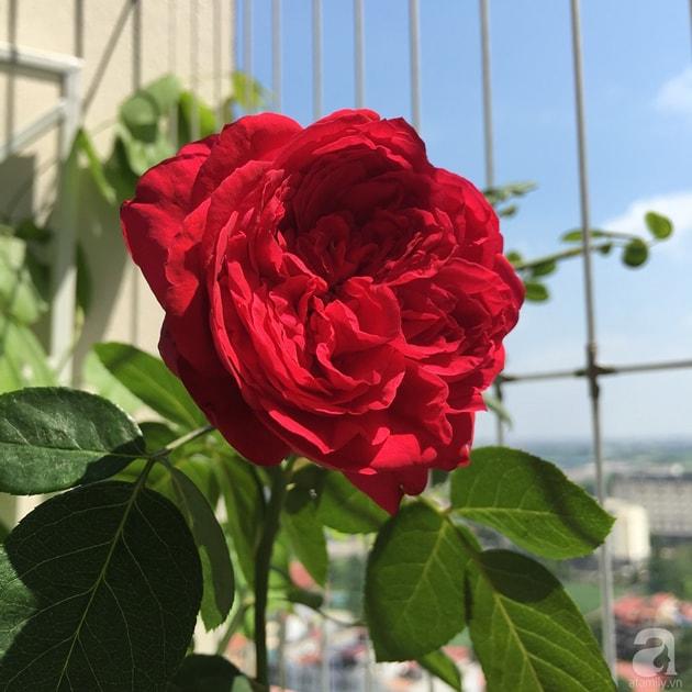 Ban công trồng đủ loại hoa hồng chỉ vỏn vẹn 6m2 11