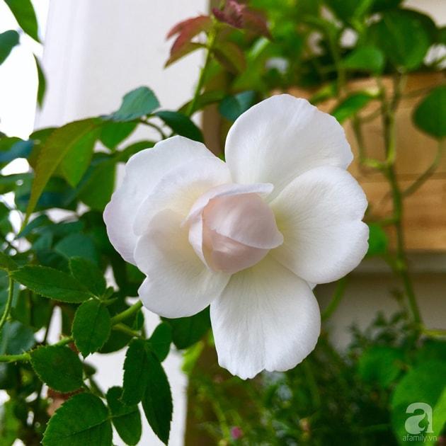 Ban công trồng đủ loại hoa hồng chỉ vỏn vẹn 6m2 12