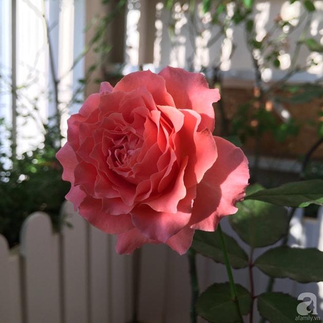 Ban công trồng đủ loại hoa hồng chỉ vỏn vẹn 6m2 15