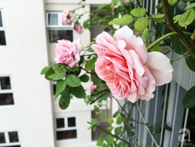 Ban công trồng đủ loại hoa hồng chỉ vỏn vẹn 6m2 16