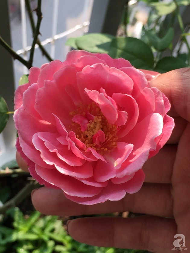 Ban công trồng đủ loại hoa hồng chỉ vỏn vẹn 6m2 17