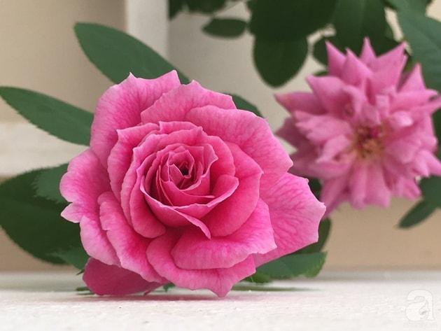 Ban công trồng đủ loại hoa hồng chỉ vỏn vẹn 6m2 18