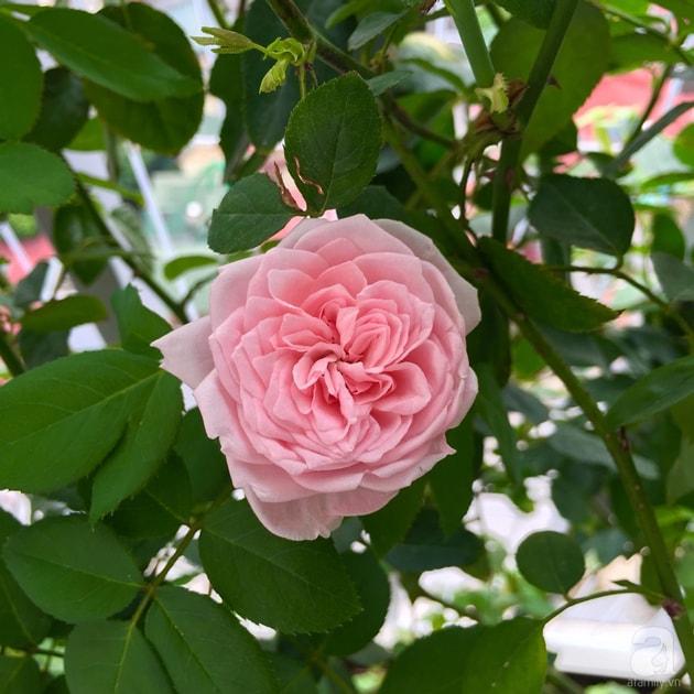 Ban công trồng đủ loại hoa hồng chỉ vỏn vẹn 6m2 19