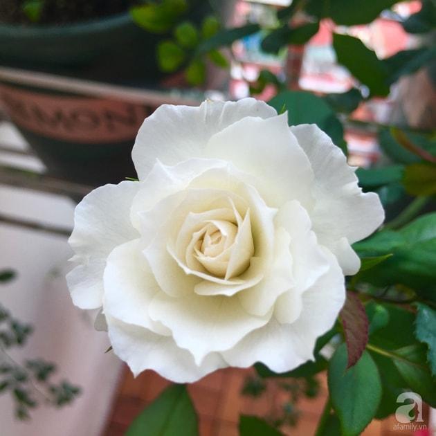 Ban công trồng đủ loại hoa hồng chỉ vỏn vẹn 6m2 20