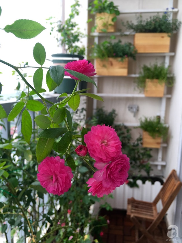 Ban công trồng đủ loại hoa hồng chỉ vỏn vẹn 6m2 3
