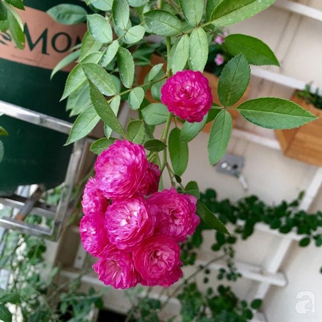 Ban công trồng đủ loại hoa hồng chỉ vỏn vẹn 6m2 21