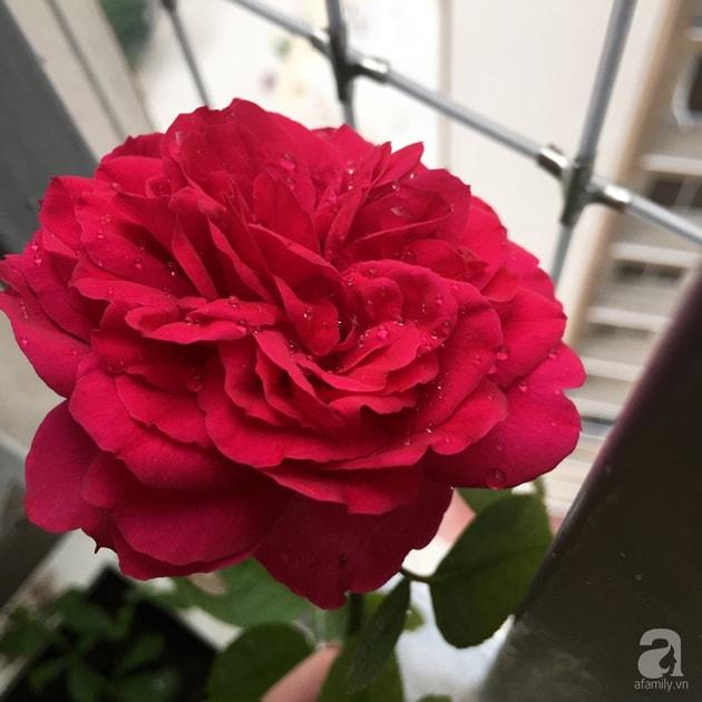 Ban công trồng đủ loại hoa hồng chỉ vỏn vẹn 6m2 22
