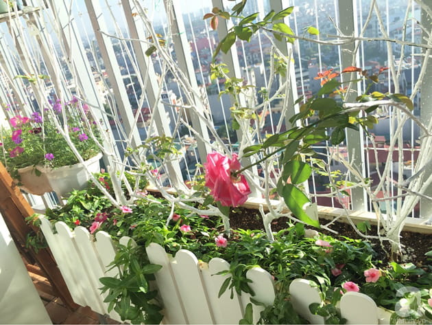 Ban công trồng đủ loại hoa hồng chỉ vỏn vẹn 6m2 23