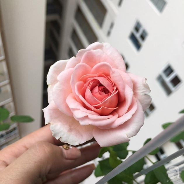Ban công trồng đủ loại hoa hồng chỉ vỏn vẹn 6m2 24