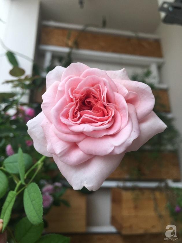 Ban công trồng đủ loại hoa hồng chỉ vỏn vẹn 6m2 25