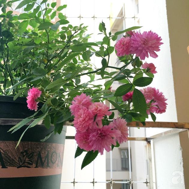 Ban công trồng đủ loại hoa hồng chỉ vỏn vẹn 6m2 26