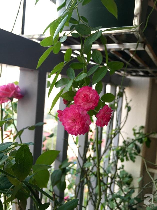 Ban công trồng đủ loại hoa hồng chỉ vỏn vẹn 6m2 27