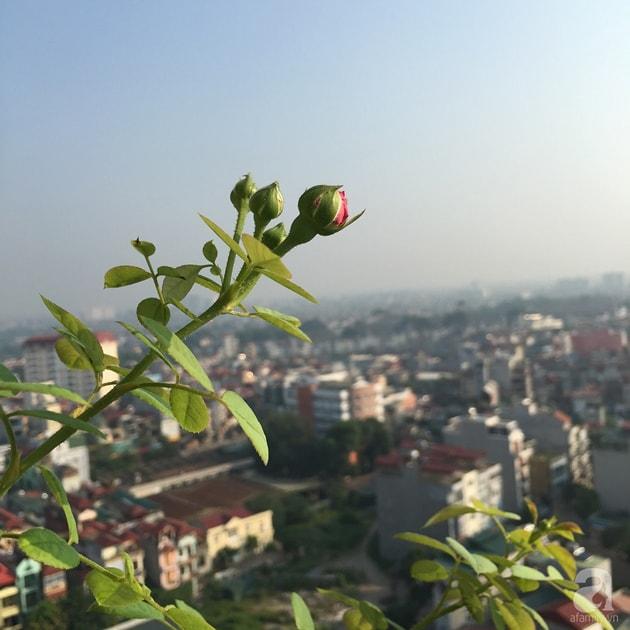 Ban công trồng đủ loại hoa hồng chỉ vỏn vẹn 6m2 30