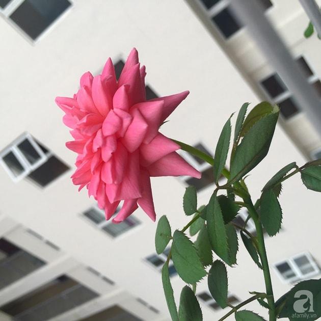 Ban công trồng đủ loại hoa hồng chỉ vỏn vẹn 6m2 32