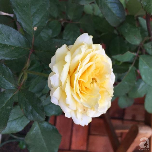 Ban công trồng đủ loại hoa hồng chỉ vỏn vẹn 6m2 33