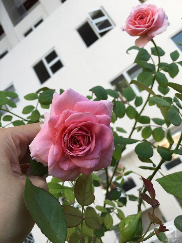 Ban công trồng đủ loại hoa hồng chỉ vỏn vẹn 6m2 6