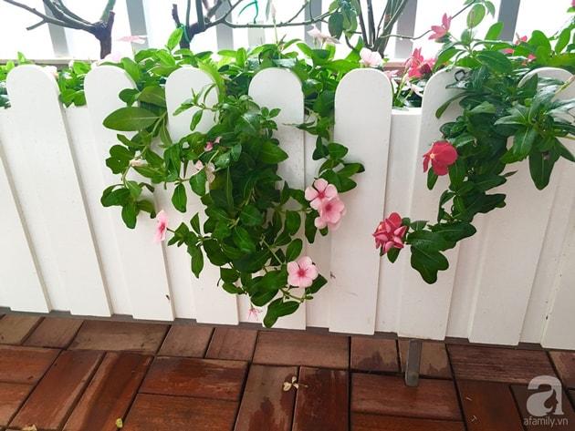 Ban công trồng đủ loại hoa hồng chỉ vỏn vẹn 6m2 7