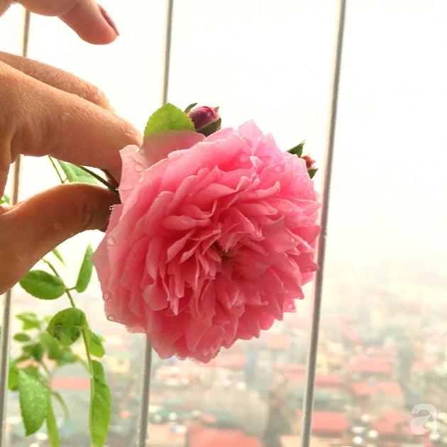 Ban công trồng đủ loại hoa hồng chỉ vỏn vẹn 6m2 8