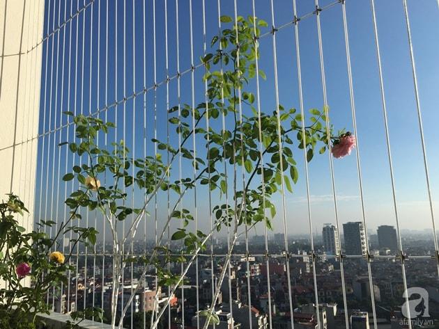 Ban công trồng đủ loại hoa hồng chỉ vỏn vẹn 6m2 9