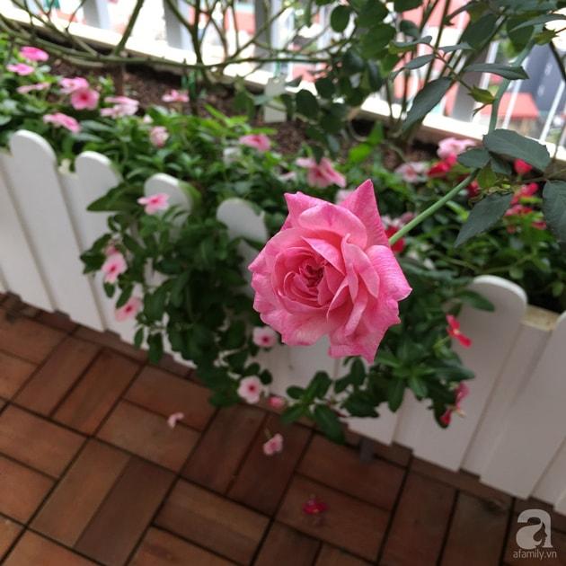 Ban công trồng đủ loại hoa hồng chỉ vỏn vẹn 6m2 10